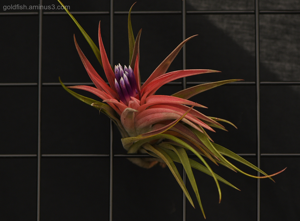 Tillandsia - Air Plant