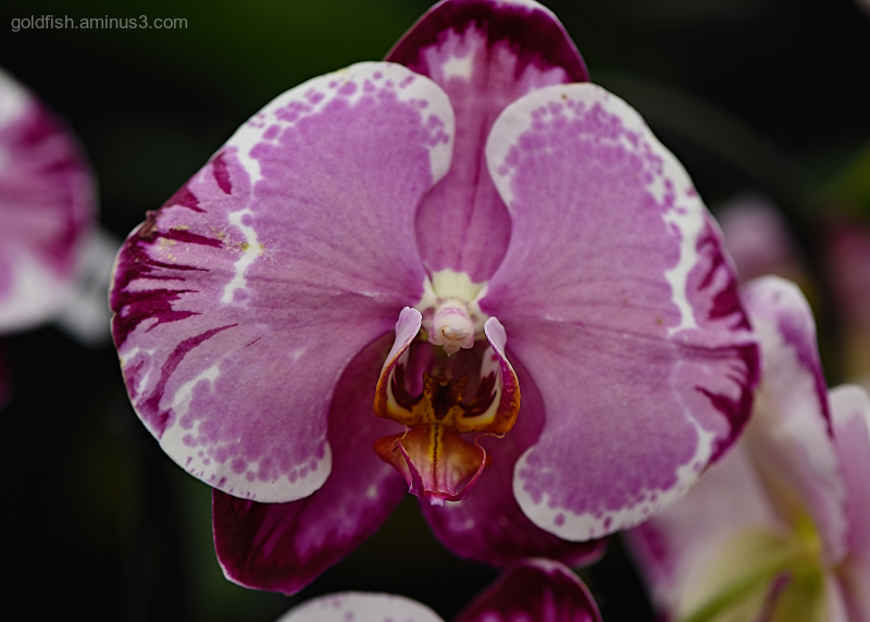 Phalaenopsis - Moth Orchid - Sacrifice