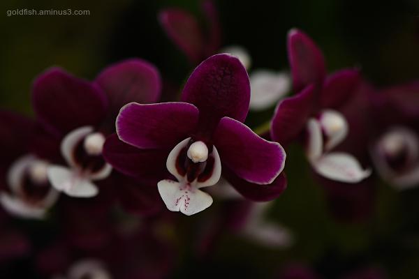 Phalaenopsis - Moth Orchid - Kaoda Twinkle