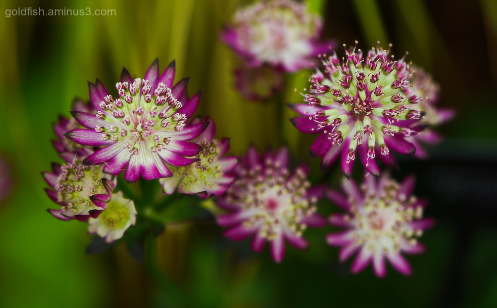 Astrantia Major - 'Primadonna'