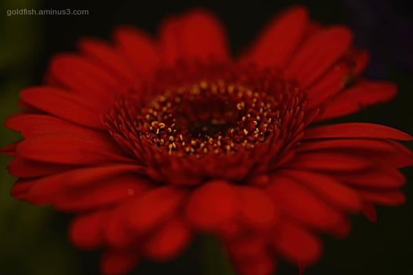 Gerbera - Transvaal Daisy