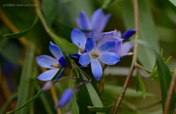 Sollya Heterophylla - Bluebell Creeper