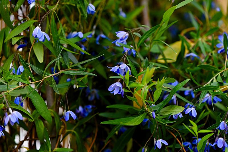 Sollya Heterophylla - Bluebell Creeper II
