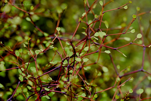 Muehlenbeckia Astonii - Shrubby Tororaro