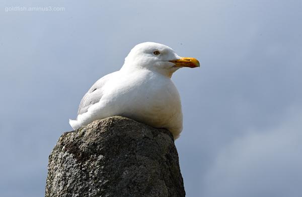 Common Gull III