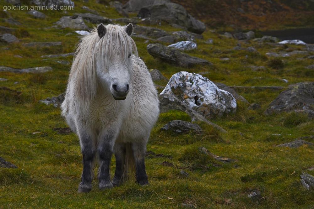 Wild Carneddau Pony - Snowdonia
