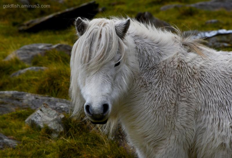 Wild Carneddau Pony - Snowdonia II
