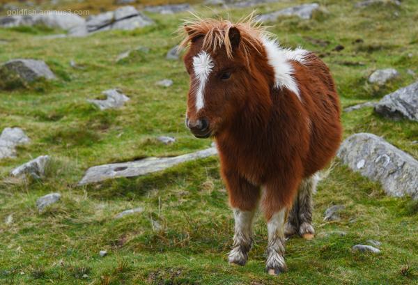 Wild Carneddau Pony - Snowdonia III