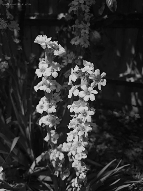 Garden Lockdown IV - Sisyrinchium Striatum