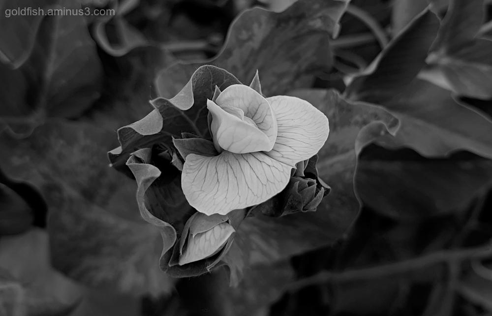 Garden Lockdown VI - Pisum Sativum