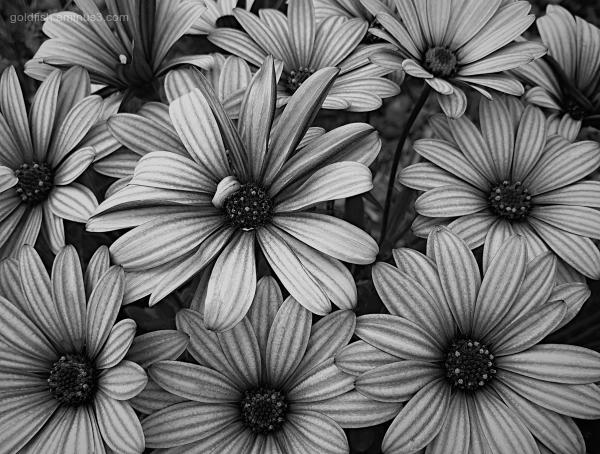 Garden Lockdown VII - Osteospermum