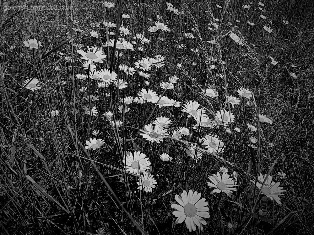 Garden Lockdown  XIII - Leucanthemum Vulgare