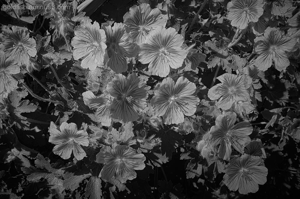 Garden Lockdown XIV - Geranium Ibericum