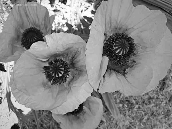 Garden Lockdown XV - Papaver Setiferum