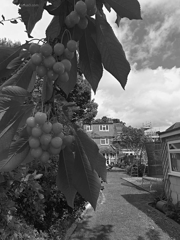 Garden Lockdown XVI - Prunus Avium