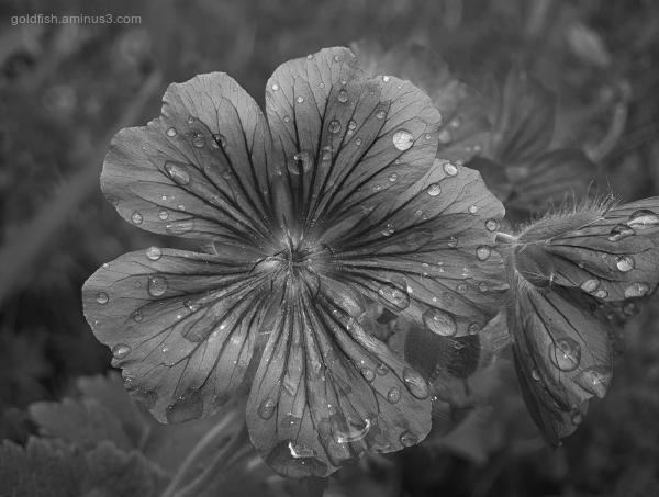 Garden Lockdown XIX - Geranium X Magnificum