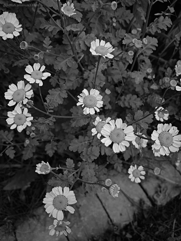 Garden Lockdown XXII - Tanacetum Parthenium