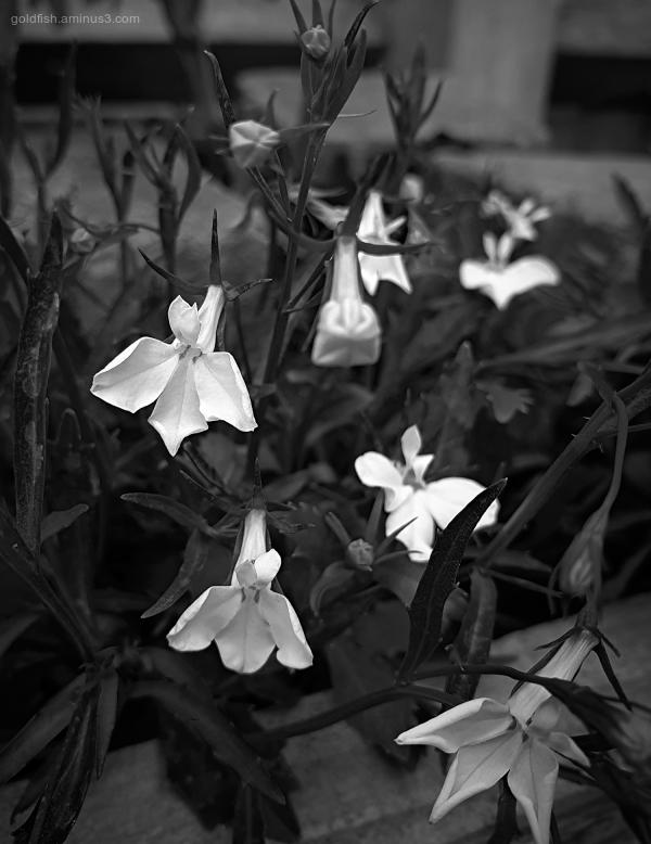 Garden Lockdown XXIII - Lobelia Erinus