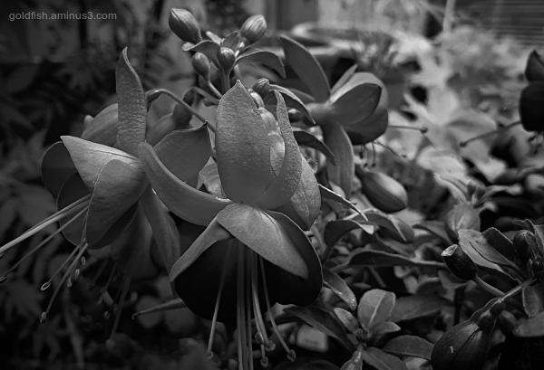 Garden Lockdown XXV Fuchsia