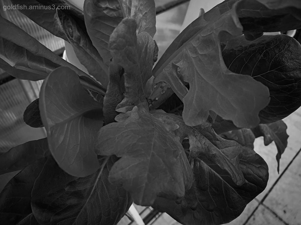 Garden Lockdown XXVIII - Lactuca Sativa