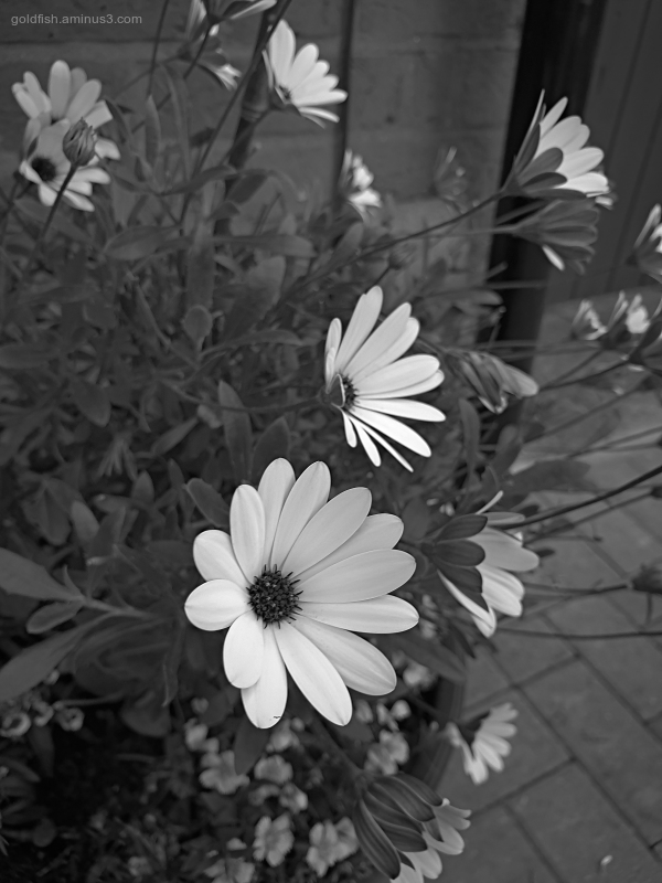 Garden Lockdown XXX - Dimorphotheca Ecklonis