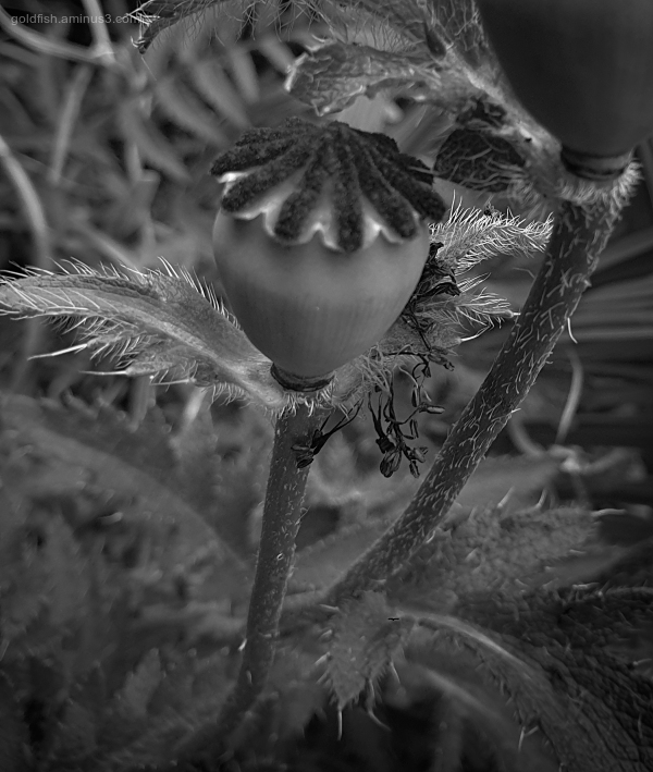 Garden Lockdown XXXI - Papaver Setiferum