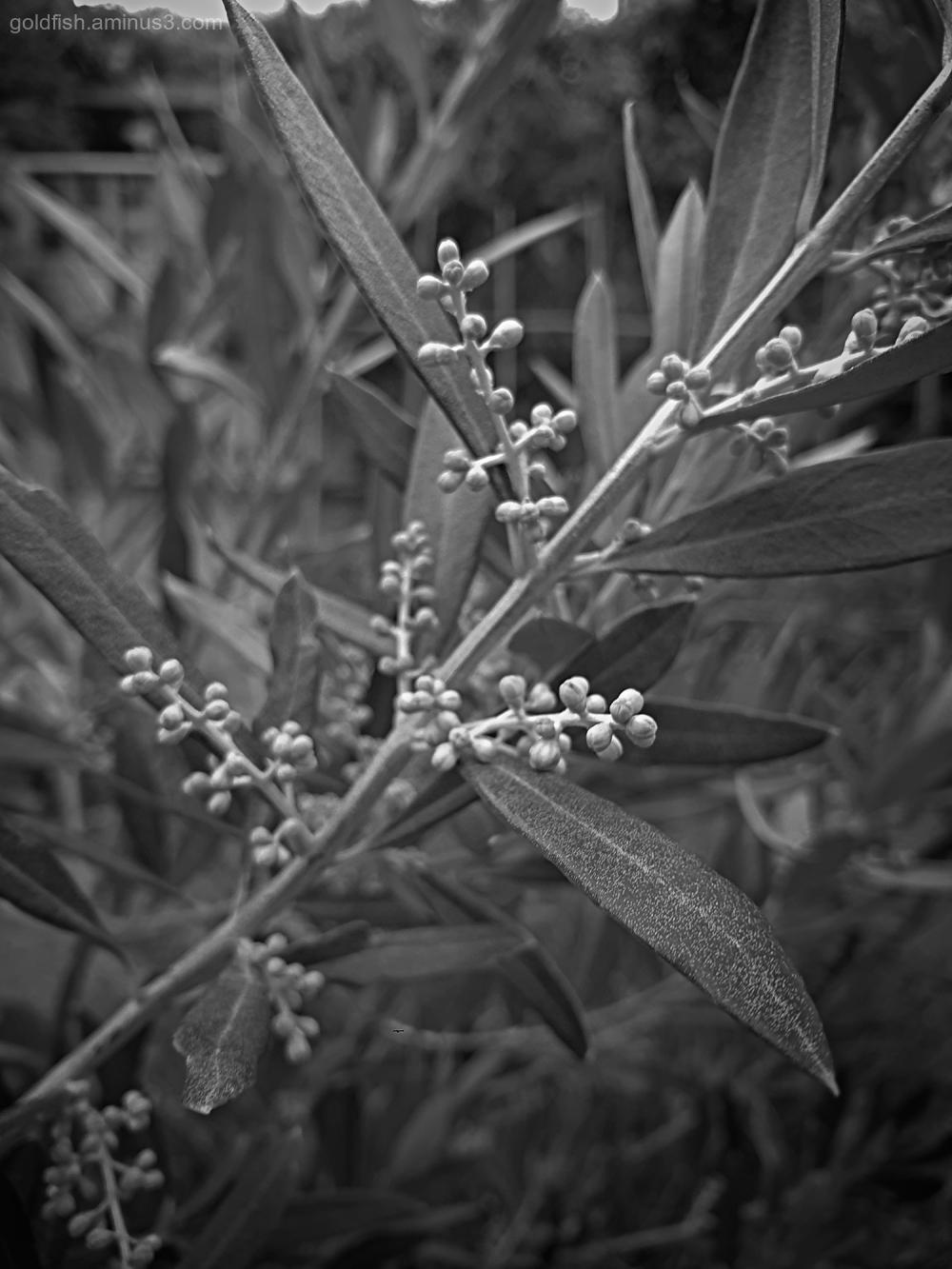 Garden Lockdown XXXII - Olea Europaea