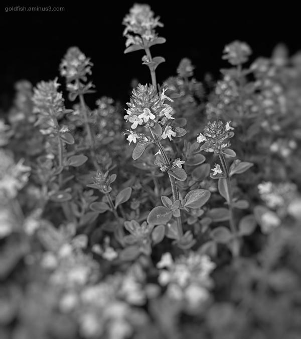 Garden Lockdown XXXVIII - Thymus Serpyllum
