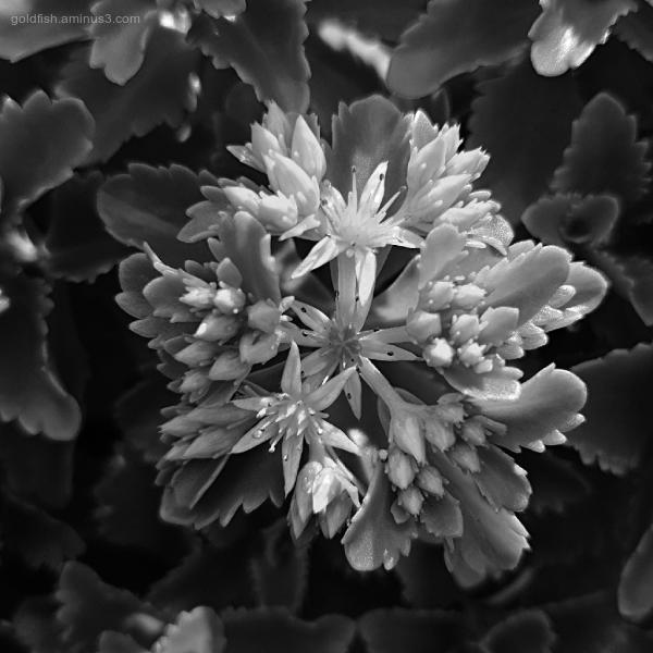 Garden Lockdown XLII - Phedimus kamtschaticum