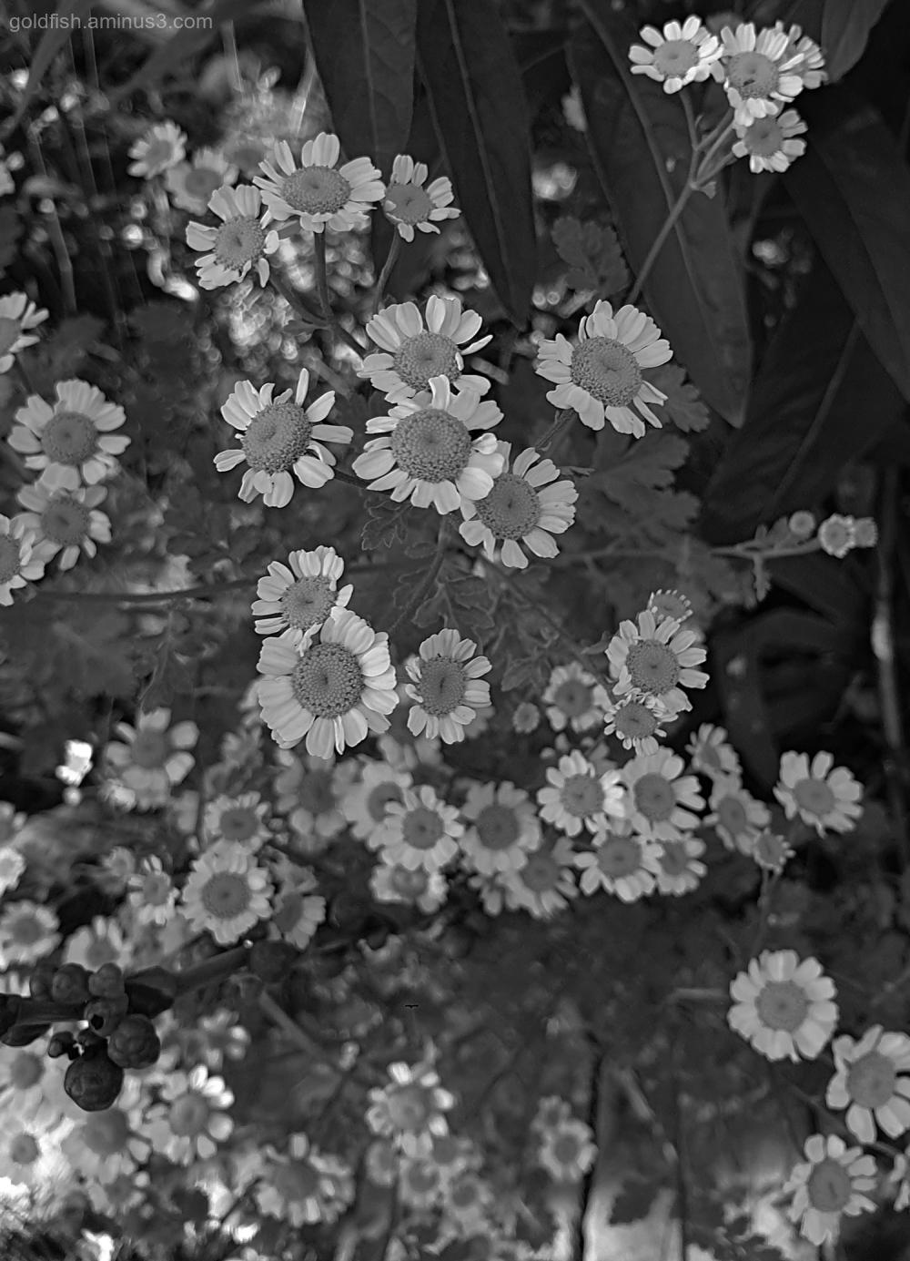Garden Lockdown L - Tanacetum Parthenium