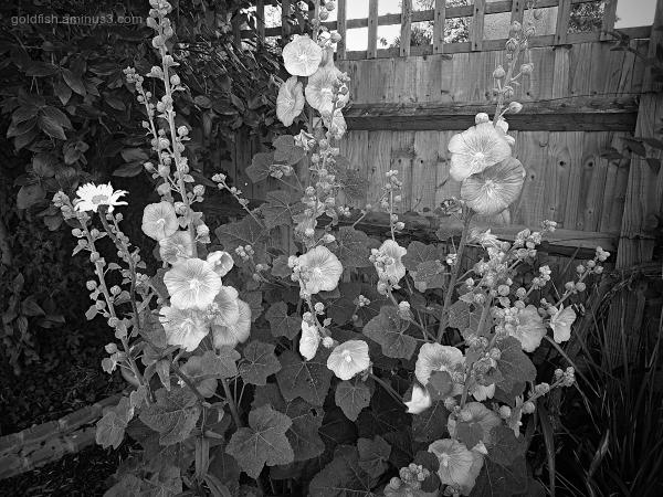 Garden Lockdown LI - Alcea Rosea