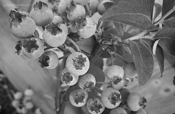 Garden Lockdown LVIII - Cyanococcus