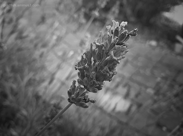 Garden Lockdown LIX - Lavandula Angustifolia