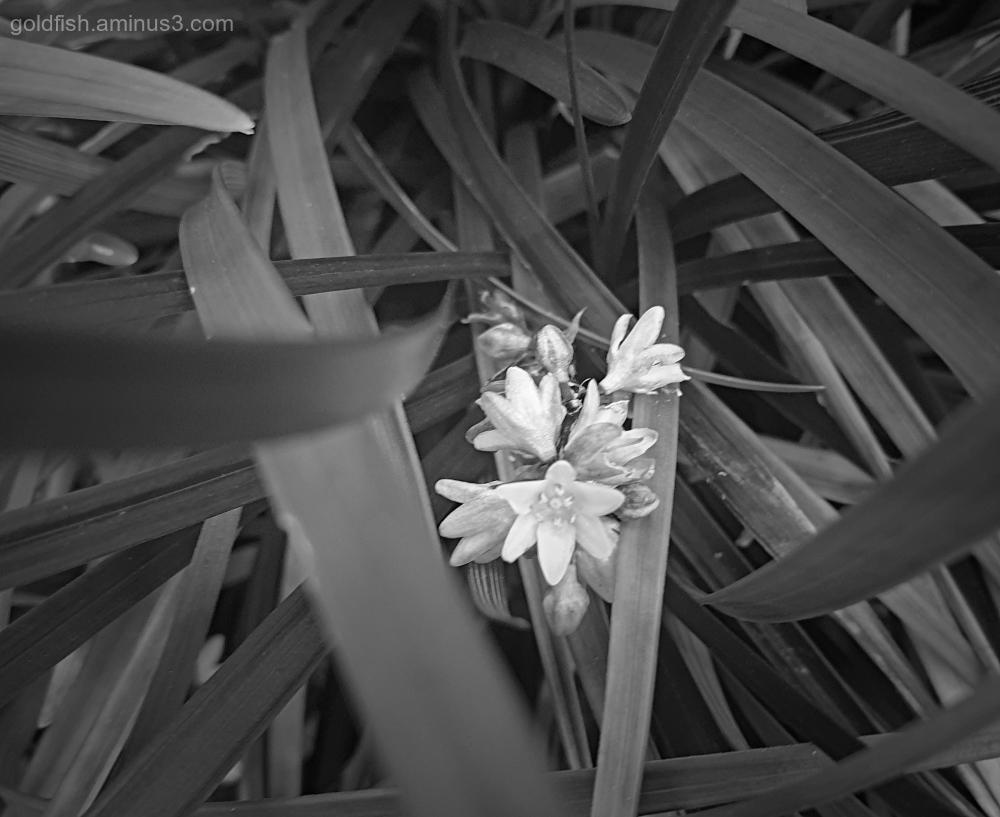 Garden Lockdown LX - Ophiopogon planiscapus Nigres