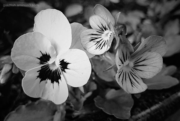 Garden Lockdown LXI - Viola Tricolor var. Hortensi