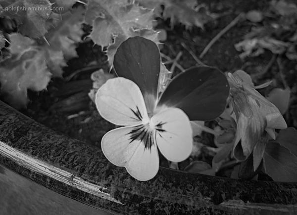 Garden Lockdown LXIII - Viola Tricolor Hortenis II