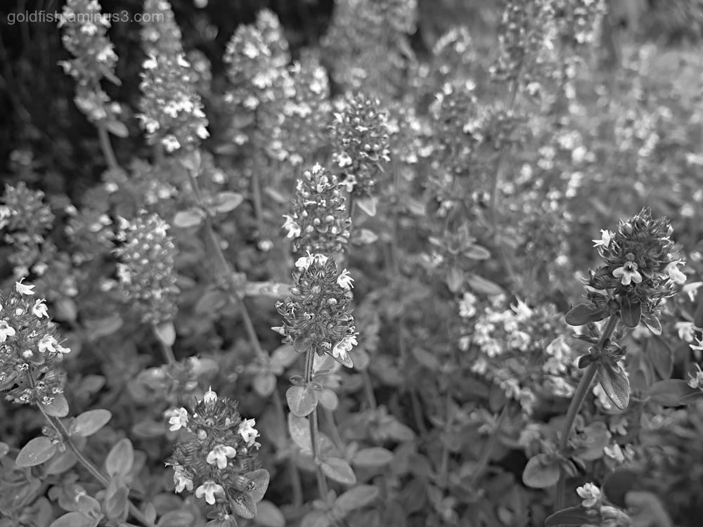 Garden Lockdown LXIV - Thymus Serpyllum