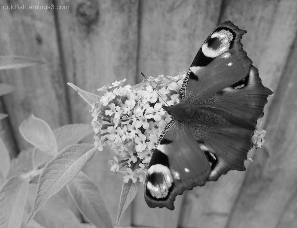 Garden Lockdown LXXIX - European Peacock butterfly