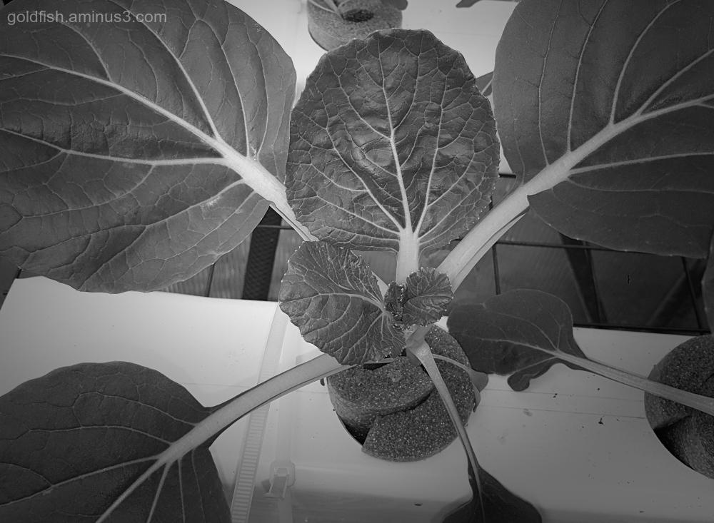 Garden Lockdown  LXXXIII - Brassica Rapa Chinensis