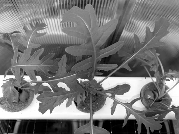 Garden Lockdown LXXXIV - Eruca Vesicaria ~ Sativa
