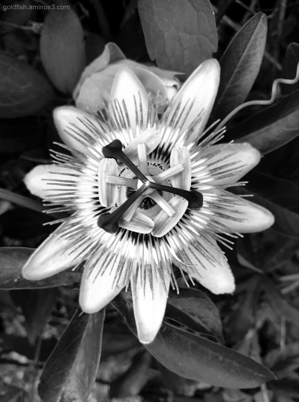 Garden Lockdown LXXXIX - Passiflora Caerulea II