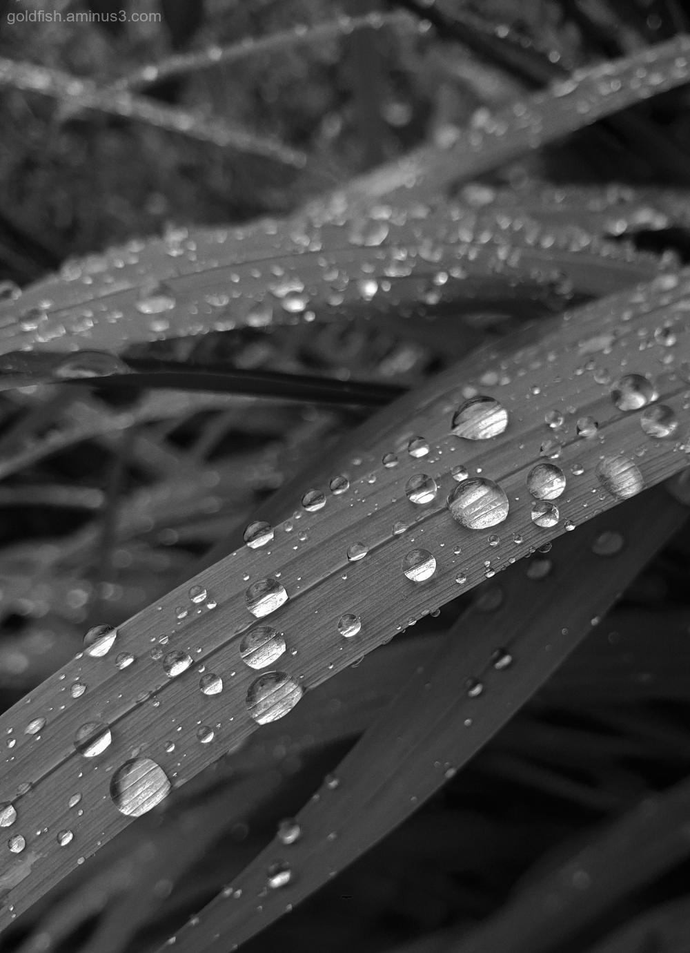 Garden Lockdown XCI - Montbretia After the Rain