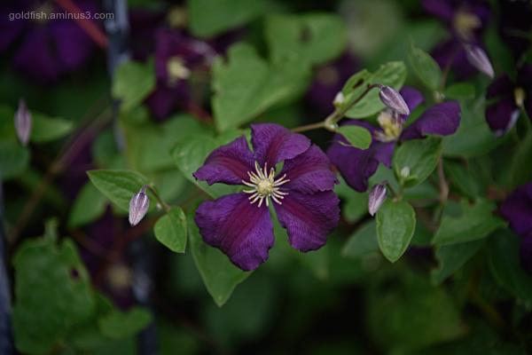 Clematis - Etoile Violette