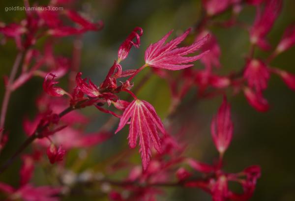 Acer Palmatum - 'Wilson's Pink Dwarf'