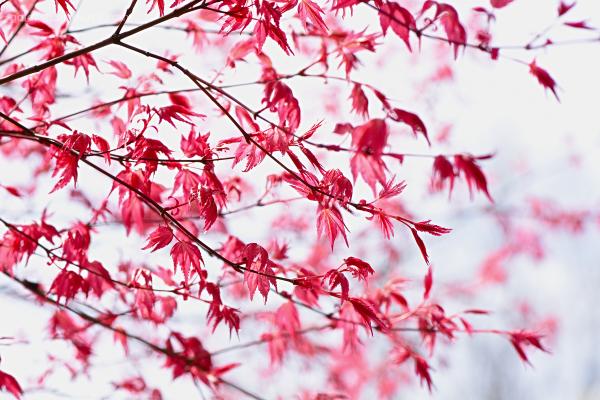 Acer Palmatum - 'Deshojo'