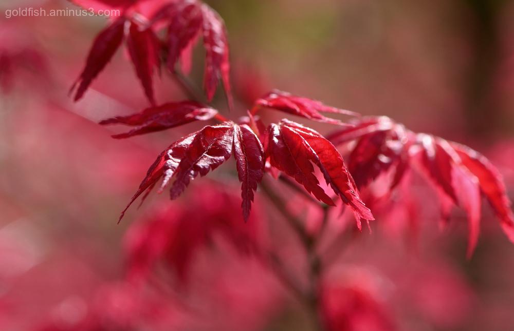 Acer Palmatum - 'Deshojo' II