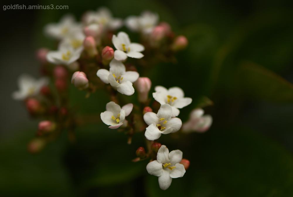 Viburnum Purpureum