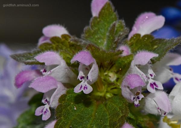 Lamium Purpureum - Purple Dead-Nettle