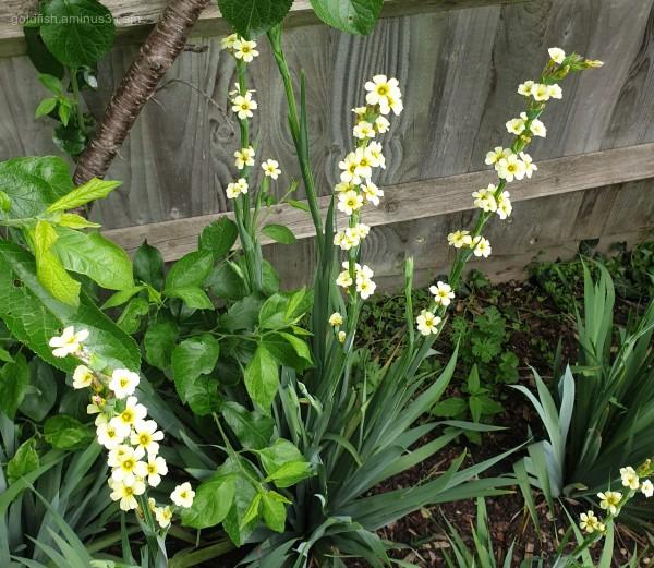 Sisyrinchium Striatum - Yellow Eyed Grass