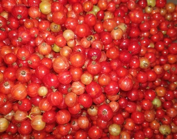Red Current Harvest